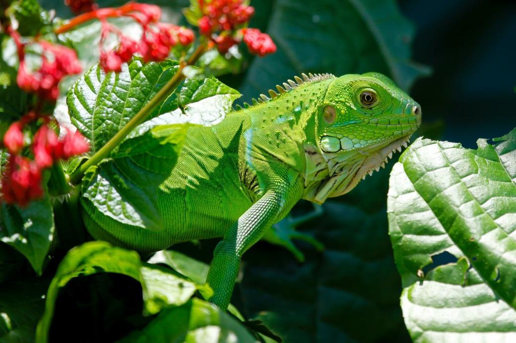 iguana-223157_1920
