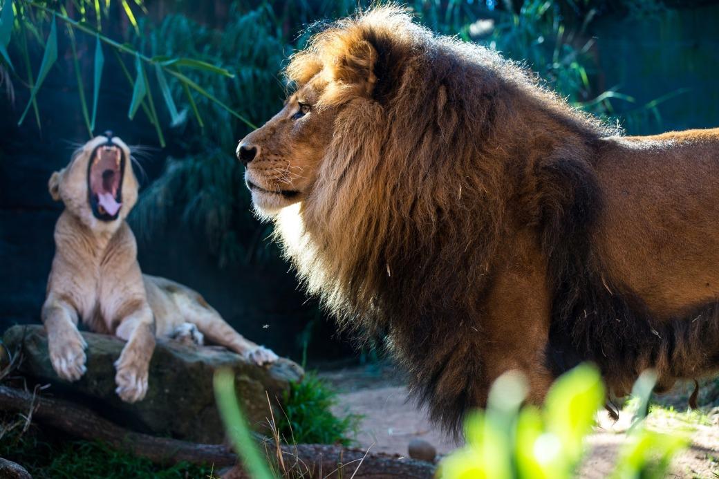 lion-3332729_1920