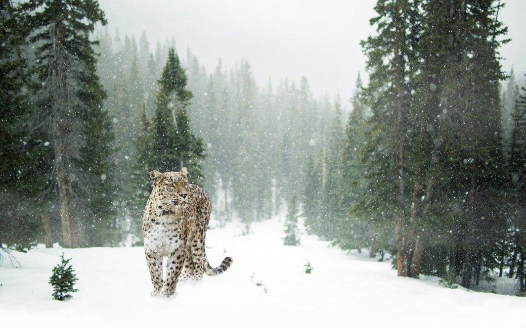 persian-leopard-1647940_1920