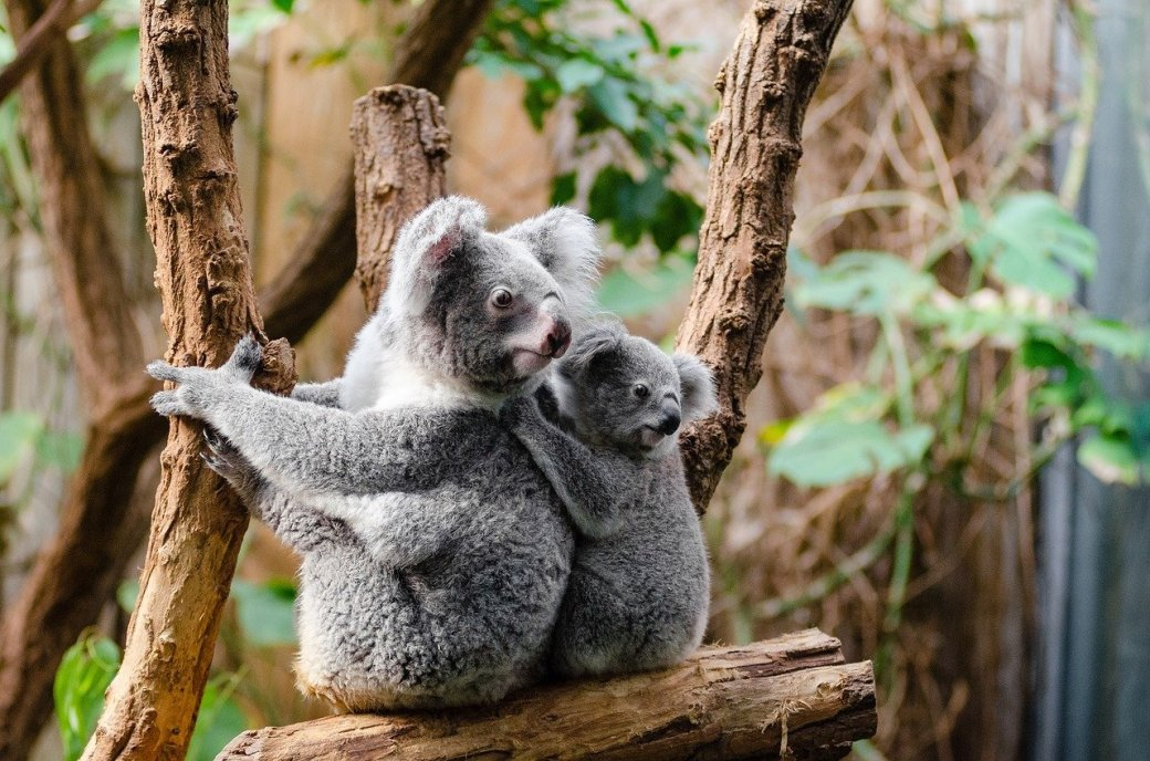 koala-1259681_1280