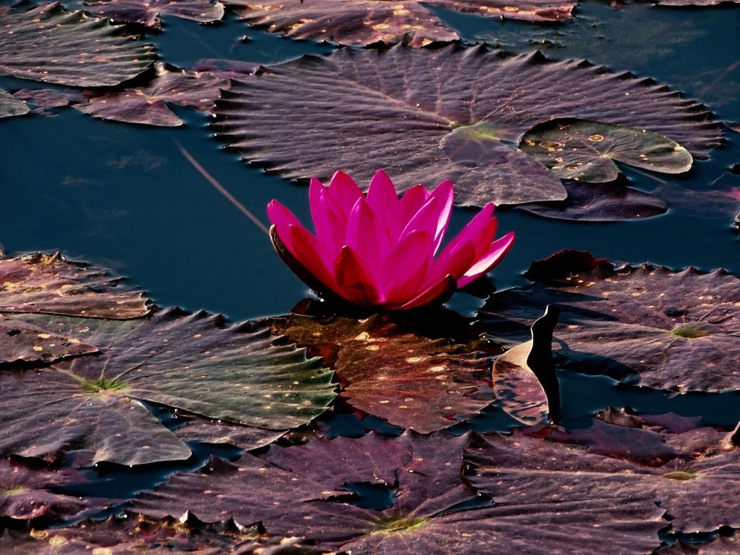 lotus-4364807_1920