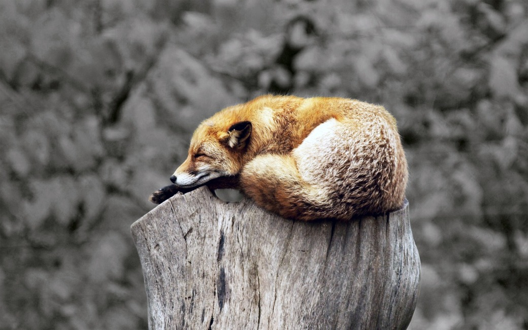 fox-3518807_1920