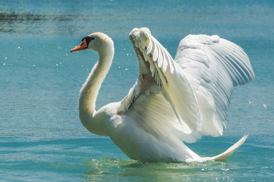 swan-369090_1920